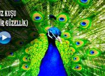 Tavuz Kuşu ( Harika Bir Güzellik )